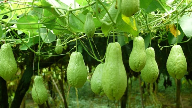 Chow-Chow-Vegetable-Farming-Information.